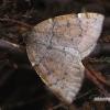 Rudasparnis ankstyvasis sprindžius - Epirranthis diversata  | Fotografijos autorius : Gintautas Steiblys | © Macrogamta.lt | Šis tinklapis priklauso bendruomenei kuri domisi makro fotografija ir fotografuoja gyvąjį makro pasaulį.