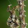 Trikampiatinklis laidūnas - Hyptiotes paradoxus  | Fotografijos autorius : Gintautas Steiblys | © Macrogamta.lt | Šis tinklapis priklauso bendruomenei kuri domisi makro fotografija ir fotografuoja gyvąjį makro pasaulį.