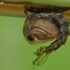 Uodo - Aedes sp. lėliukė  | Fotografijos autorius : Gintautas Steiblys | © Macrogamta.lt | Šis tinklapis priklauso bendruomenei kuri domisi makro fotografija ir fotografuoja gyvąjį makro pasaulį.