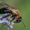 Smėliabitė - Andrena cf nitida | Fotografijos autorius : Gintautas Steiblys | © Macrogamta.lt | Šis tinklapis priklauso bendruomenei kuri domisi makro fotografija ir fotografuoja gyvąjį makro pasaulį.
