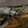 Žvitražygis - Agonum viduum | Fotografijos autorius : Gintautas Steiblys | © Macrogamta.lt | Šis tinklapis priklauso bendruomenei kuri domisi makro fotografija ir fotografuoja gyvąjį makro pasaulį.