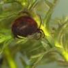 Vandeninė erkė - Hydrachna sp. ? | Fotografijos autorius : Gintautas Steiblys | © Macrogamta.lt | Šis tinklapis priklauso bendruomenei kuri domisi makro fotografija ir fotografuoja gyvąjį makro pasaulį.