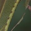 Pilkajuostis balsvasprindis - Cabera pusaria, vikšras   Fotografijos autorius : Gintautas Steiblys   © Macrogamta.lt   Šis tinklapis priklauso bendruomenei kuri domisi makro fotografija ir fotografuoja gyvąjį makro pasaulį.