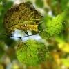Paprastojo lazdyno - Corylus avellana rudenėjantys lapai | Fotografijos autorius : Gintautas Steiblys | © Macrogamta.lt | Šis tinklapis priklauso bendruomenei kuri domisi makro fotografija ir fotografuoja gyvąjį makro pasaulį.