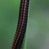 Juodasis šimtakojis - Ommatoiulus sabulosus   Fotografijos autorius : Gintautas Steiblys   © Macrogamta.lt   Šis tinklapis priklauso bendruomenei kuri domisi makro fotografija ir fotografuoja gyvąjį makro pasaulį.