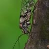 Didysis šiengraužis - Psococerastis gibbosa | Fotografijos autorius : Gintautas Steiblys | © Macrogamta.lt | Šis tinklapis priklauso bendruomenei kuri domisi makro fotografija ir fotografuoja gyvąjį makro pasaulį.