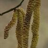 Paprastasis lazdynas - Corylus avellana- žirginėliai | Fotografijos autorius : Gintautas Steiblys | © Macrogamta.lt | Šis tinklapis priklauso bendruomenei kuri domisi makro fotografija ir fotografuoja gyvąjį makro pasaulį.