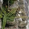 Šerinė kalnarūtė - Asplenium trichomanes | Fotografijos autorius : Gintautas Steiblys | © Macrogamta.lt | Šis tinklapis priklauso bendruomenei kuri domisi makro fotografija ir fotografuoja gyvąjį makro pasaulį.