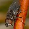 Gluosninė žirgininė žiedenė - Egle ciliata    Fotografijos autorius : Gintautas Steiblys   © Macrogamta.lt   Šis tinklapis priklauso bendruomenei kuri domisi makro fotografija ir fotografuoja gyvąjį makro pasaulį.