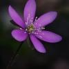 Triskiautė žibuoklė - Hepatica nobilis f. purpurea   Fotografijos autorius : Gintautas Steiblys   © Macrogamta.lt   Šis tinklapis priklauso bendruomenei kuri domisi makro fotografija ir fotografuoja gyvąjį makro pasaulį.