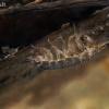 Vandens asiliukas - Asellus aquaticus   Fotografijos autorius : Gintautas Steiblys   © Macrogamta.lt   Šis tinklapis priklauso bendruomenei kuri domisi makro fotografija ir fotografuoja gyvąjį makro pasaulį.