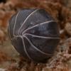 Vėdarėlis - Armadillidium vulgare ?   Fotografijos autorius : Gintautas Steiblys   © Macrogamta.lt   Šis tinklapis priklauso bendruomenei kuri domisi makro fotografija ir fotografuoja gyvąjį makro pasaulį.