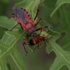 Raudonoji plėšriablakė - Rhynocoris iracundus | Fotografijos autorius : Gintautas Steiblys | © Macrogamta.lt | Šis tinklapis priklauso bendruomenei kuri domisi makro fotografija ir fotografuoja gyvąjį makro pasaulį.