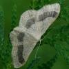 Juodajuostis sprindžiukas - Idaea aversata f. remutata    Fotografijos autorius : Gintautas Steiblys   © Macrogamta.lt   Šis tinklapis priklauso bendruomenei kuri domisi makro fotografija ir fotografuoja gyvąjį makro pasaulį.