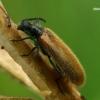 Paprastasis gauravabalis - Lagria hirta  | Fotografijos autorius : Gintautas Steiblys | © Macrogamta.lt | Šis tinklapis priklauso bendruomenei kuri domisi makro fotografija ir fotografuoja gyvąjį makro pasaulį.