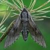 Pušinis sfinksas - Sphinx [=Hyloicus] pinastri | Fotografijos autorius : Gintautas Steiblys | © Macrogamta.lt | Šis tinklapis priklauso bendruomenei kuri domisi makro fotografija ir fotografuoja gyvąjį makro pasaulį.