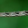 Lipikinis sprindytis - Eupithecia subfuscata, vikšras   Fotografijos autorius : Gintautas Steiblys   © Macrogamta.lt   Šis tinklapis priklauso bendruomenei kuri domisi makro fotografija ir fotografuoja gyvąjį makro pasaulį.