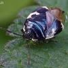 Baltadėmė urvablakė - Tritomegas bicolor | Fotografijos autorius : Gintautas Steiblys | © Macrogamta.lt | Šis tinklapis priklauso bendruomenei kuri domisi makro fotografija ir fotografuoja gyvąjį makro pasaulį.