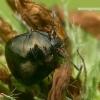 Dobilinė kamuolblakė - Coptosoma scutellatum  | Fotografijos autorius : Gintautas Steiblys | © Macrogamta.lt | Šis tinklapis priklauso bendruomenei kuri domisi makro fotografija ir fotografuoja gyvąjį makro pasaulį.