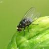 Minamusė - Agromyzidae    Fotografijos autorius : Gintautas Steiblys   © Macrogamta.lt   Šis tinklapis priklauso bendruomenei kuri domisi makro fotografija ir fotografuoja gyvąjį makro pasaulį.