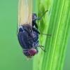 Girinukė - Minettia longipennis   Fotografijos autorius : Gintautas Steiblys   © Macrogamta.lt   Šis tinklapis priklauso bendruomenei kuri domisi makro fotografija ir fotografuoja gyvąjį makro pasaulį.