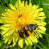 Nicrophorus vespillo - Paprastasis duobkasys | Fotografijos autorius : Algirdas Vilkas | © Macrogamta.lt | Šis tinklapis priklauso bendruomenei kuri domisi makro fotografija ir fotografuoja gyvąjį makro pasaulį.