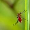 Tikrasis uodas - Culicidae | Fotografijos autorius : Alma Totorytė | © Macrogamta.lt | Šis tinklapis priklauso bendruomenei kuri domisi makro fotografija ir fotografuoja gyvąjį makro pasaulį.