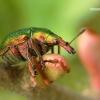 Byctiscus betulae - Liepinis cigarsukis   Fotografijos autorius : Lukas Jonaitis   © Macrogamta.lt   Šis tinklapis priklauso bendruomenei kuri domisi makro fotografija ir fotografuoja gyvąjį makro pasaulį.