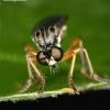Dioctria cothurnata - Plėšriamusė | Fotografijos autorius : Lukas Jonaitis | © Macrogamta.lt | Šis tinklapis priklauso bendruomenei kuri domisi makro fotografija ir fotografuoja gyvąjį makro pasaulį.