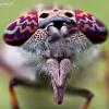 Žabalis - Haematopota pluvialis (Portretas) | Fotografijos autorius : Lukas Jonaitis | © Macrogamta.lt | Šis tinklapis priklauso bendruomenei kuri domisi makro fotografija ir fotografuoja gyvąjį makro pasaulį.