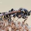 Pennisetia hylaeiformis - Avietinis stiklasparnis | Fotografijos autorius : Arūnas Eismantas | © Macrogamta.lt | Šis tinklapis priklauso bendruomenei kuri domisi makro fotografija ir fotografuoja gyvąjį makro pasaulį.