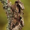 Žaliarudis vėlyvis - Allophyes oxyacanthae | Fotografijos autorius : Arūnas Eismantas | © Macrogamta.lt | Šis tinklapis priklauso bendruomenei kuri domisi makro fotografija ir fotografuoja gyvąjį makro pasaulį.