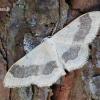 Idaea aversata - Juodajuostis sprindžiukas   Fotografijos autorius : Arūnas Eismantas   © Macrogamta.lt   Šis tinklapis priklauso bendruomenei kuri domisi makro fotografija ir fotografuoja gyvąjį makro pasaulį.