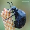 Meloe violaceus - Violetinis gegužvabalis | Fotografijos autorius : Arūnas Eismantas | © Macrogamta.lt | Šis tinklapis priklauso bendruomenei kuri domisi makro fotografija ir fotografuoja gyvąjį makro pasaulį.