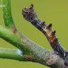 Geometra papilionaria - Didysis žaliasprindis | Fotografijos autorius : Arūnas Eismantas | © Macrogamta.lt | Šis tinklapis priklauso bendruomenei kuri domisi makro fotografija ir fotografuoja gyvąjį makro pasaulį.