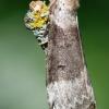 Tetheella fluctuosa - Beržinis pūkanugaris | Fotografijos autorius : Arūnas Eismantas | © Macrogamta.lt | Šis tinklapis priklauso bendruomenei kuri domisi makro fotografija ir fotografuoja gyvąjį makro pasaulį.