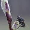 Žiedenė - Leucophora sp. | Fotografijos autorius : Arūnas Eismantas | © Macrogamta.lt | Šis tinklapis priklauso bendruomenei kuri domisi makro fotografija ir fotografuoja gyvąjį makro pasaulį.