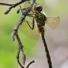Geltondėmė skėtė - Somatochlora flavomaculata | Fotografijos autorius : Arūnas Eismantas | © Macrogamta.lt | Šis tinklapis priklauso bendruomenei kuri domisi makro fotografija ir fotografuoja gyvąjį makro pasaulį.