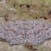 Tamsusis taškasprindis - Cyclophora pendularia   Fotografijos autorius : Arūnas Eismantas   © Macrogamta.lt   Šis tinklapis priklauso bendruomenei kuri domisi makro fotografija ir fotografuoja gyvąjį makro pasaulį.