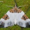 Dvispalvė cidarija - Plemyria rubiginata | Fotografijos autorius : Arūnas Eismantas | © Macrogamta.lt | Šis tinklapis priklauso bendruomenei kuri domisi makro fotografija ir fotografuoja gyvąjį makro pasaulį.
