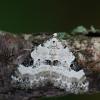 Sidabrinė cidarija - Perizoma blandiata   Fotografijos autorius : Arūnas Eismantas   © Macrogamta.lt   Šis tinklapis priklauso bendruomenei kuri domisi makro fotografija ir fotografuoja gyvąjį makro pasaulį.
