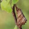 Dvijuostis lenktasparnis - Falcaria lacertinaria   Fotografijos autorius : Arūnas Eismantas   © Macrogamta.lt   Šis tinklapis priklauso bendruomenei kuri domisi makro fotografija ir fotografuoja gyvąjį makro pasaulį.