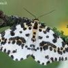 Abraxas grossulariata - Agrastinis margasprindis | Fotografijos autorius : Arūnas Eismantas | © Macrogamta.lt | Šis tinklapis priklauso bendruomenei kuri domisi makro fotografija ir fotografuoja gyvąjį makro pasaulį.