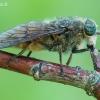 Sparva - Tabanidae sp. | Fotografijos autorius : Arūnas Eismantas | © Macrogamta.lt | Šis tinklapis priklauso bendruomenei kuri domisi makro fotografija ir fotografuoja gyvąjį makro pasaulį.