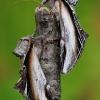 Beržinis kuodis - Pheosia gnoma & Tuopinis kuodis - Pheosia tremula | Fotografijos autorius : Arūnas Eismantas | © Macrogamta.lt | Šis tinklapis priklauso bendruomenei kuri domisi makro fotografija ir fotografuoja gyvąjį makro pasaulį.