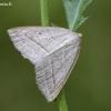 Papartinis sprindžius - Petrophora chlorosata | Fotografijos autorius : Darius Baužys | © Macrogamta.lt | Šis tinklapis priklauso bendruomenei kuri domisi makro fotografija ir fotografuoja gyvąjį makro pasaulį.
