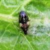 Vaismedinės žiedblakės nimfa - Anthocoris nemorum   Fotografijos autorius : Darius Baužys   © Macrogamta.lt   Šis tinklapis priklauso bendruomenei kuri domisi makro fotografija ir fotografuoja gyvąjį makro pasaulį.