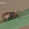 Otiorhynchus raucus - Įvairiaėdis pjovėjas | Fotografijos autorius : Darius Baužys | © Macrogamta.lt | Šis tinklapis priklauso bendruomenei kuri domisi makro fotografija ir fotografuoja gyvąjį makro pasaulį.
