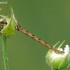 Eupithecia subfuscata - Lipikinis sprindytis   Fotografijos autorius : Darius Baužys   © Macrogamta.lt   Šis tinklapis priklauso bendruomenei kuri domisi makro fotografija ir fotografuoja gyvąjį makro pasaulį.