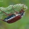 Paprastasis grambuolys - Melolontha melolontha | Fotografijos autorius : Darius Baužys | © Macrogamta.lt | Šis tinklapis priklauso bendruomenei kuri domisi makro fotografija ir fotografuoja gyvąjį makro pasaulį.